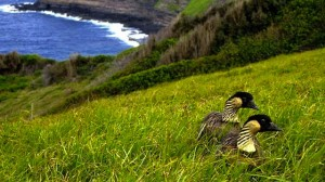 Conservation - Nene Photograph